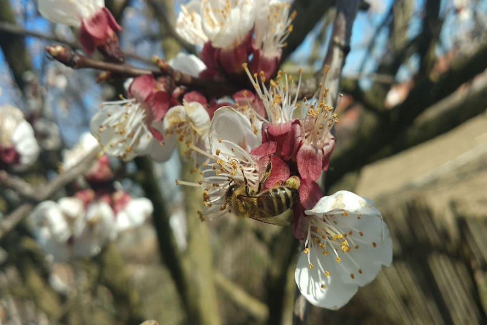 Značaj pčela
