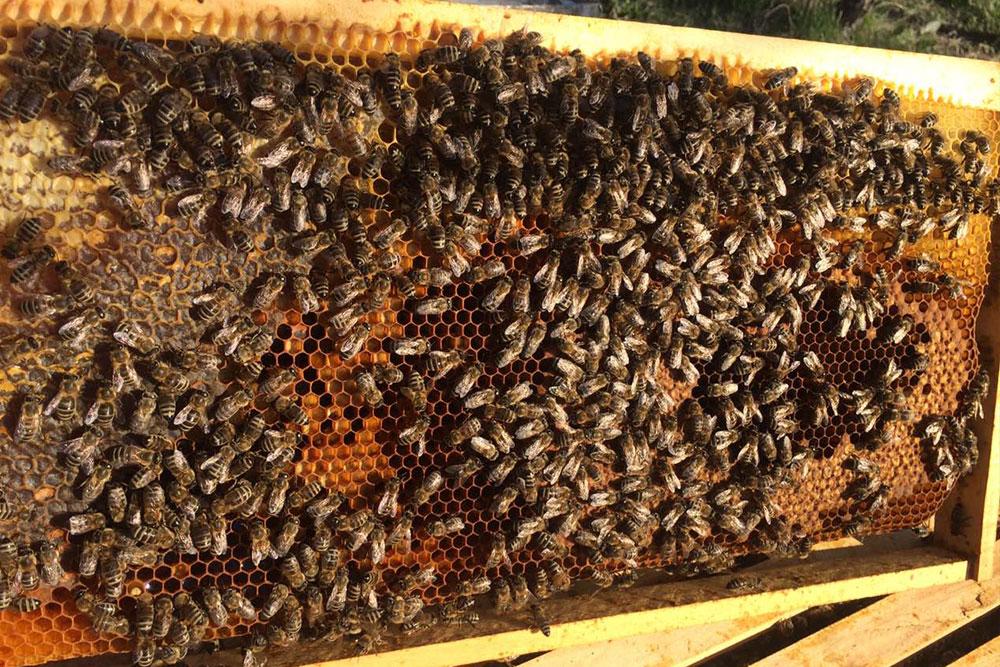 varoa u pčelinjaku