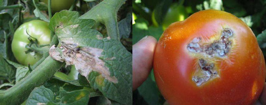 moljac paradajza