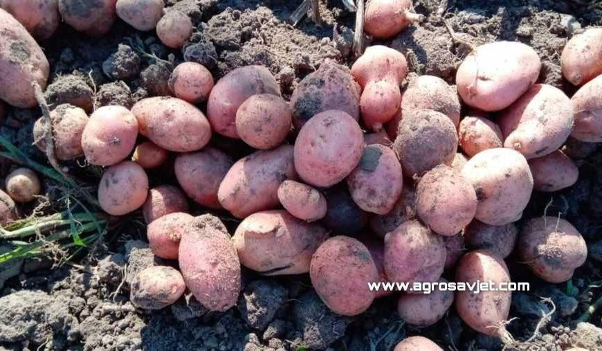 Krompir