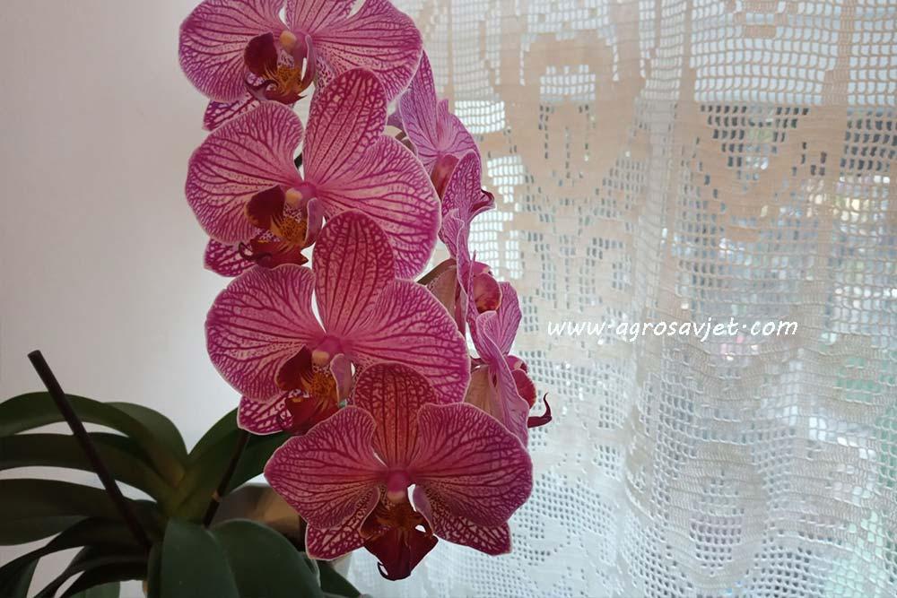 Cvjetanje orhideje
