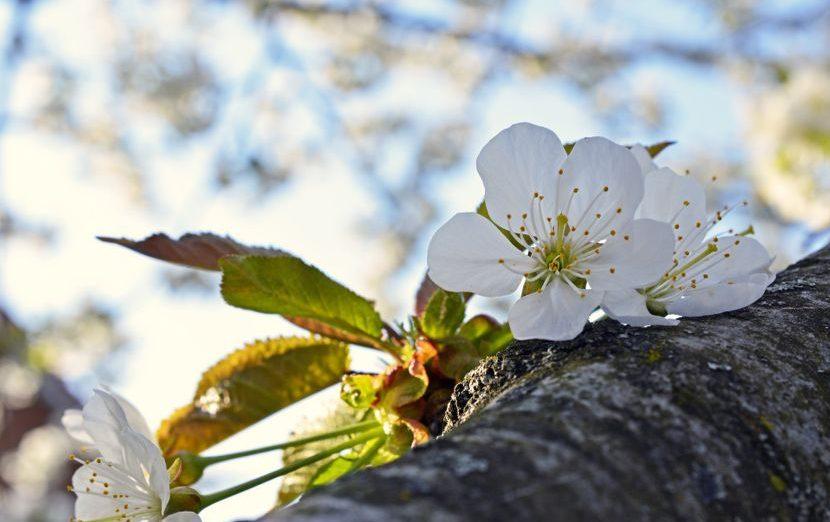 Zaštita višnje u fazi cvjetanja