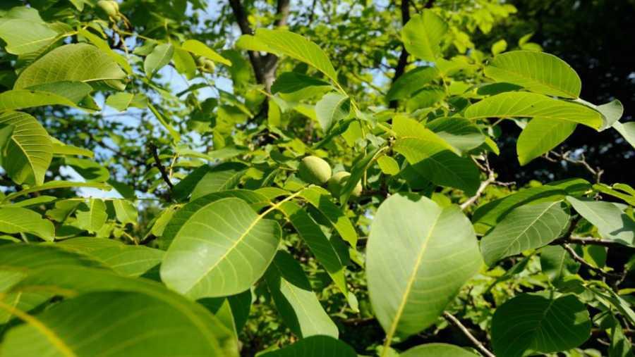 Listovi mladog oraha