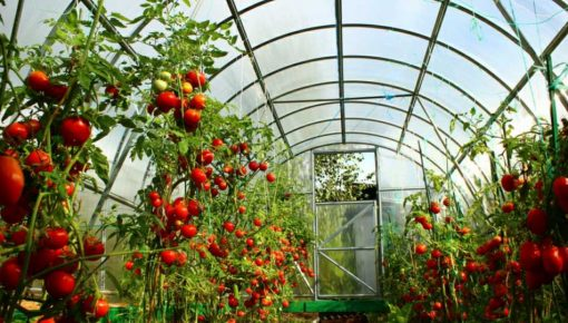 Proizvodnja paradajza u plasteniku