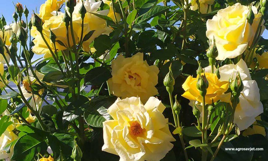 Žuta ruža