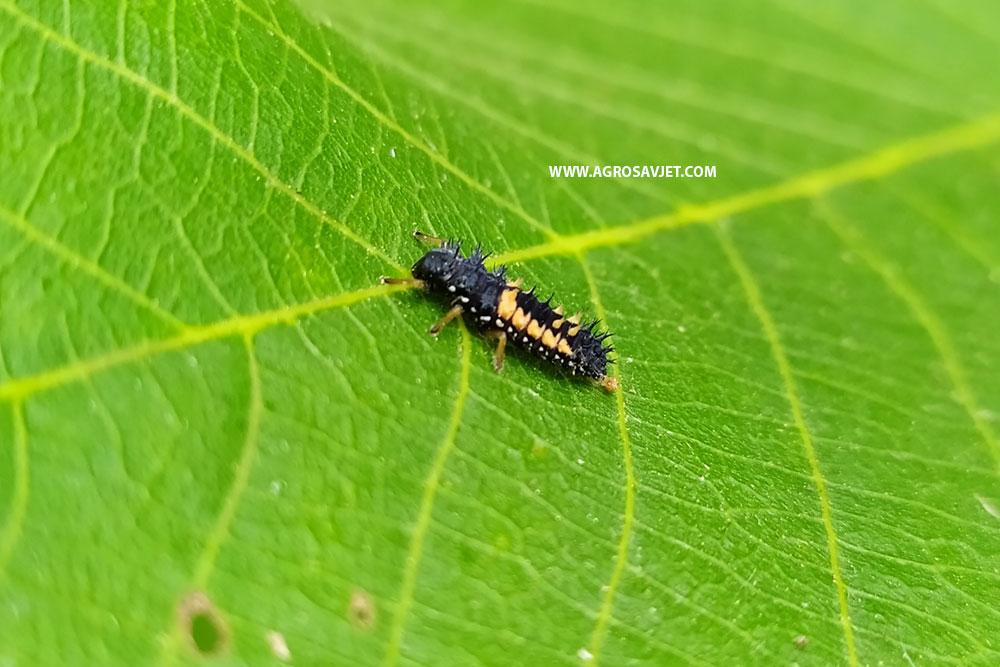 Larva bubamare