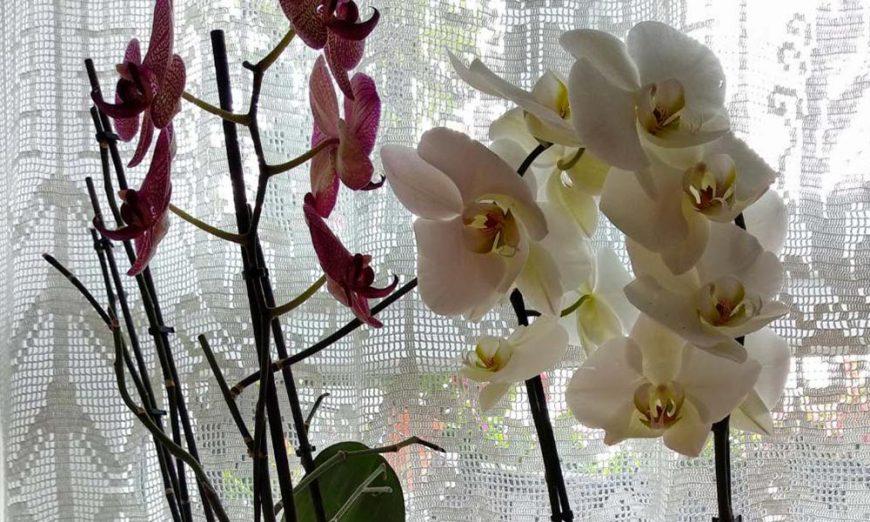 bijela i roze orhideja