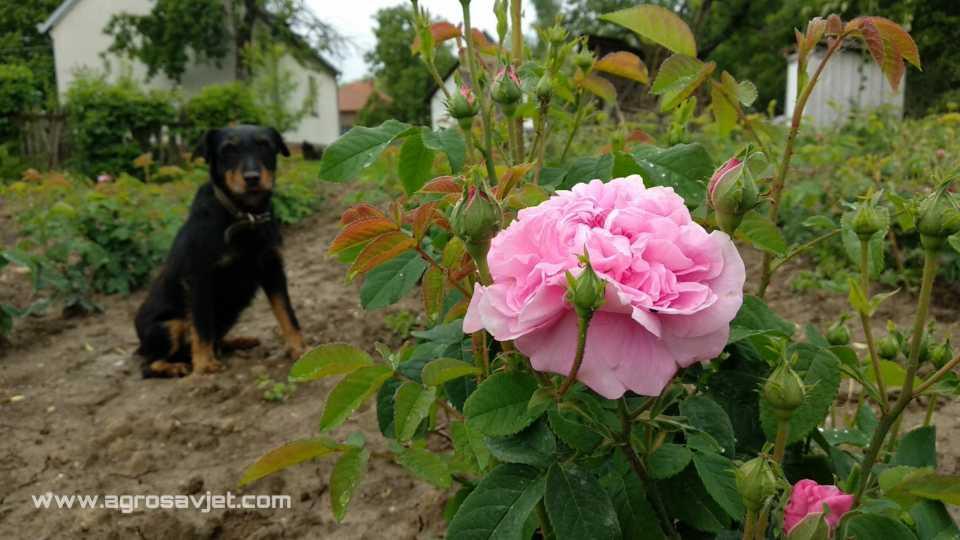 sok do ruže