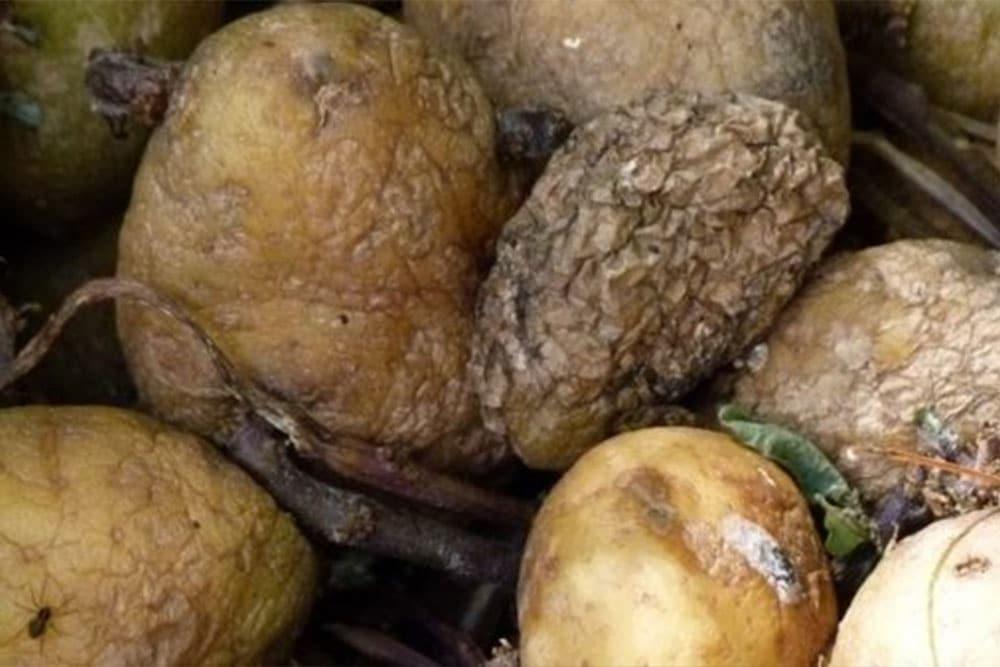 Srebrolikost krompira
