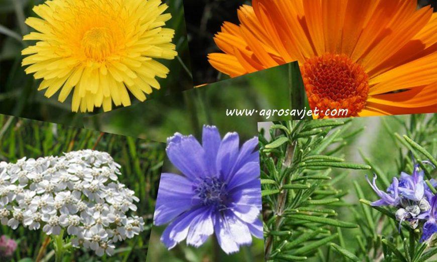 ljekovito cvijeće