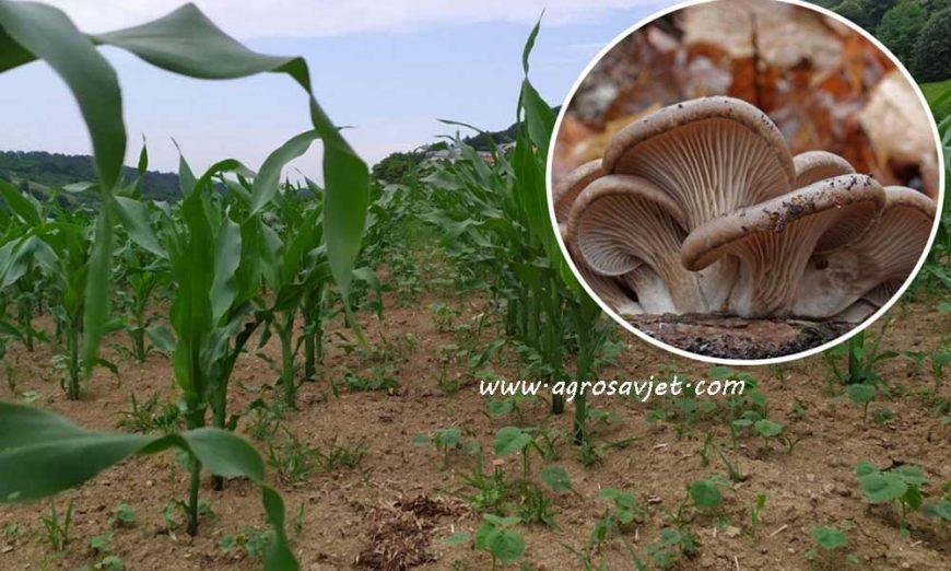 kukuruz i bukovača