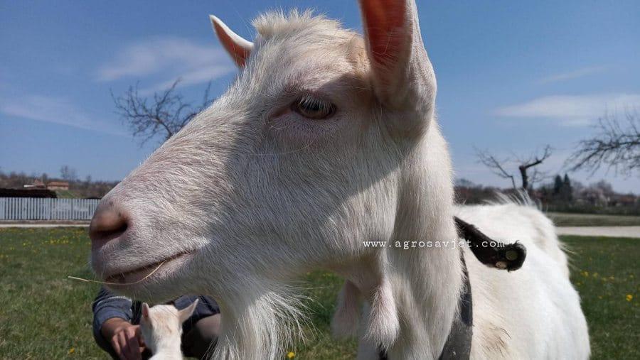 Muža koza
