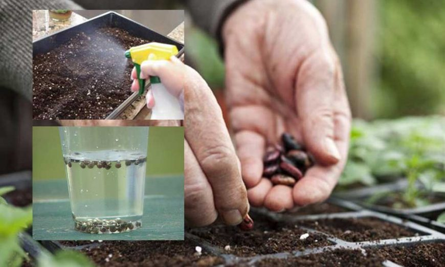 dezinfekcija sjemena