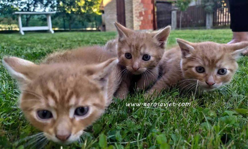 Mačke kao kućni ljubimci