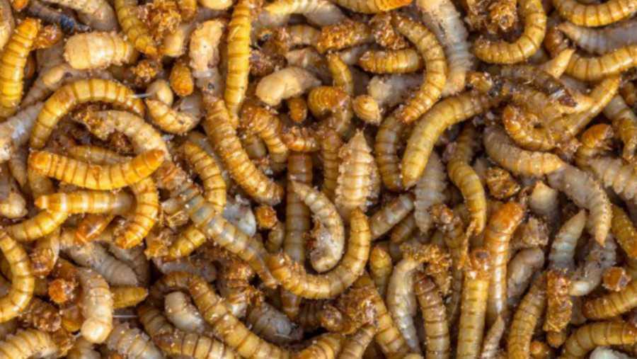 Jestivi insekti