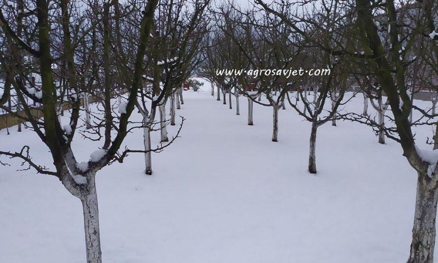 Voćnjak pod snijegom