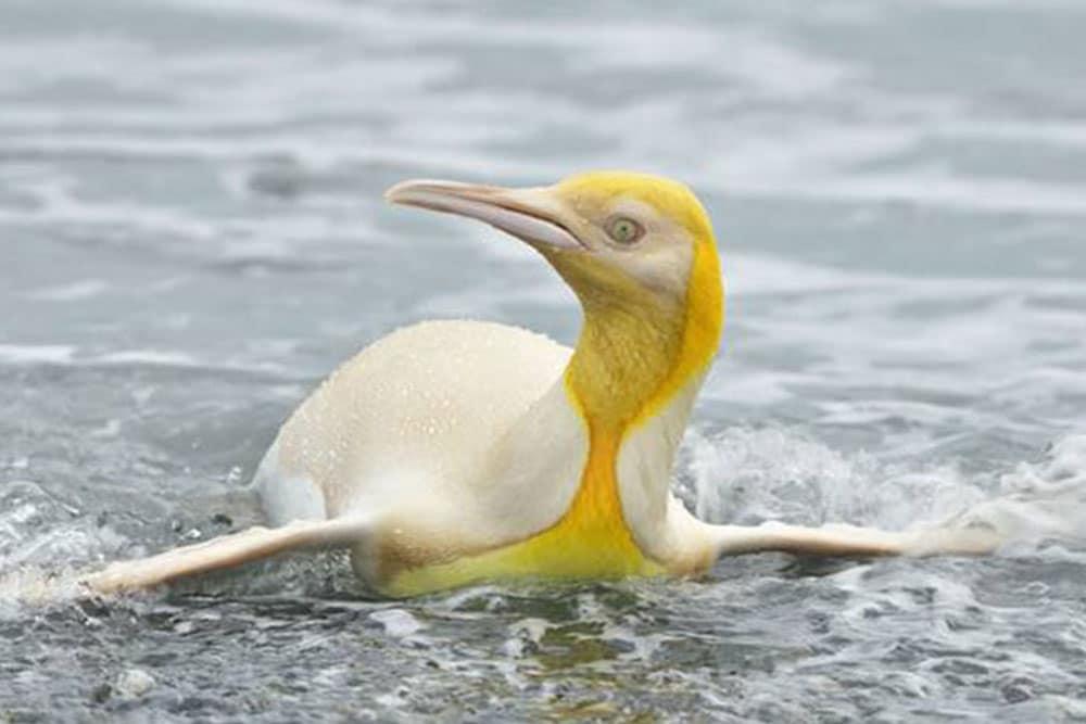 žuti pingvin