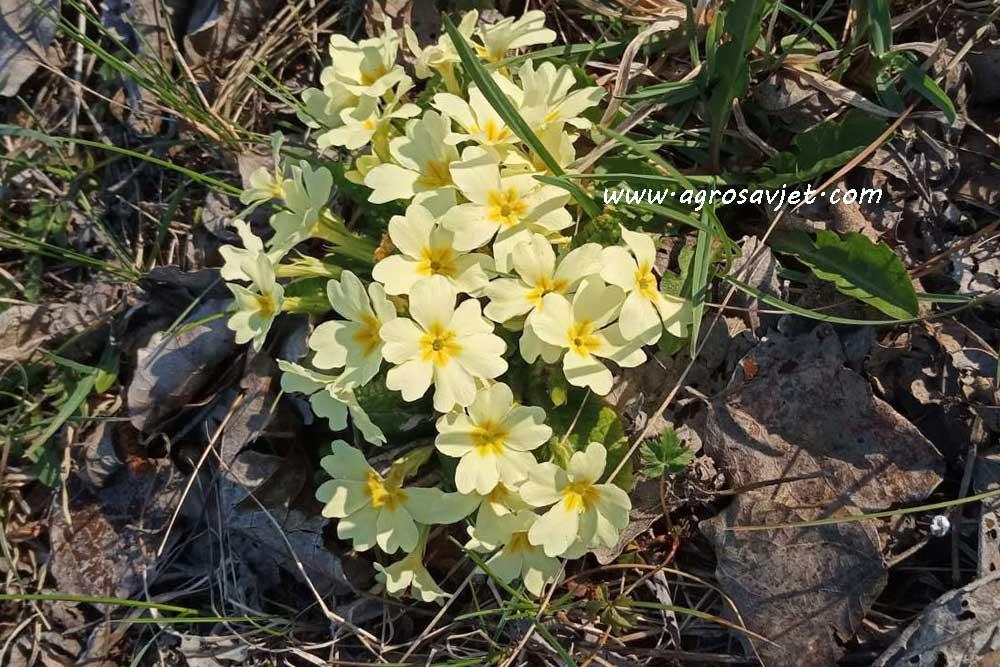 Jaglac, cvijet jagorčevine
