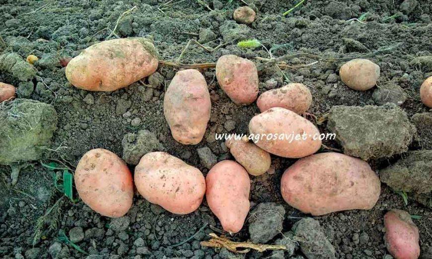 Đubrenje krompira