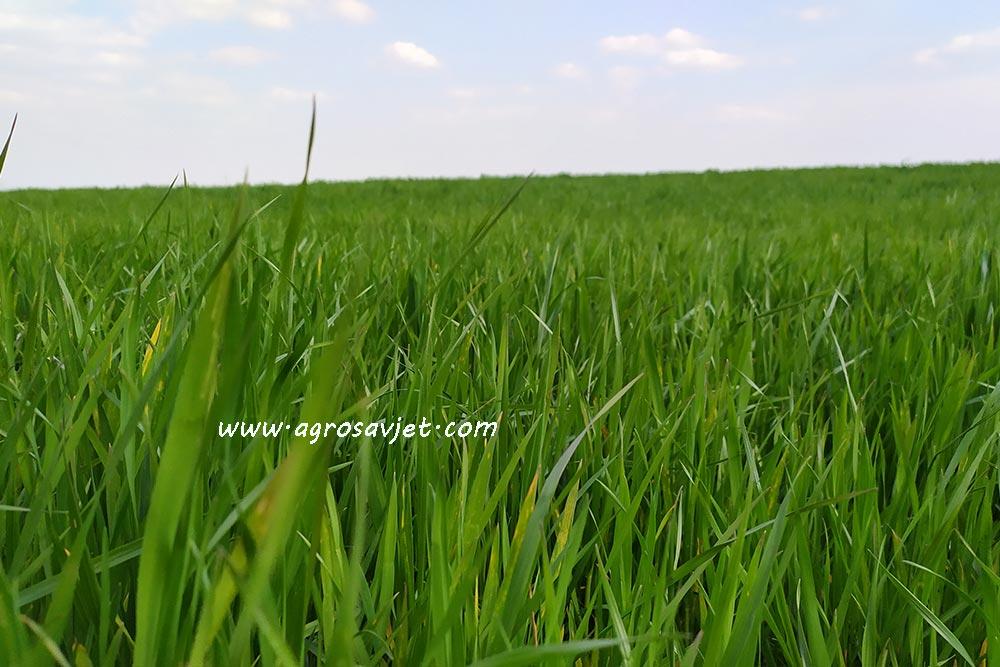 Đubrenje pšenice