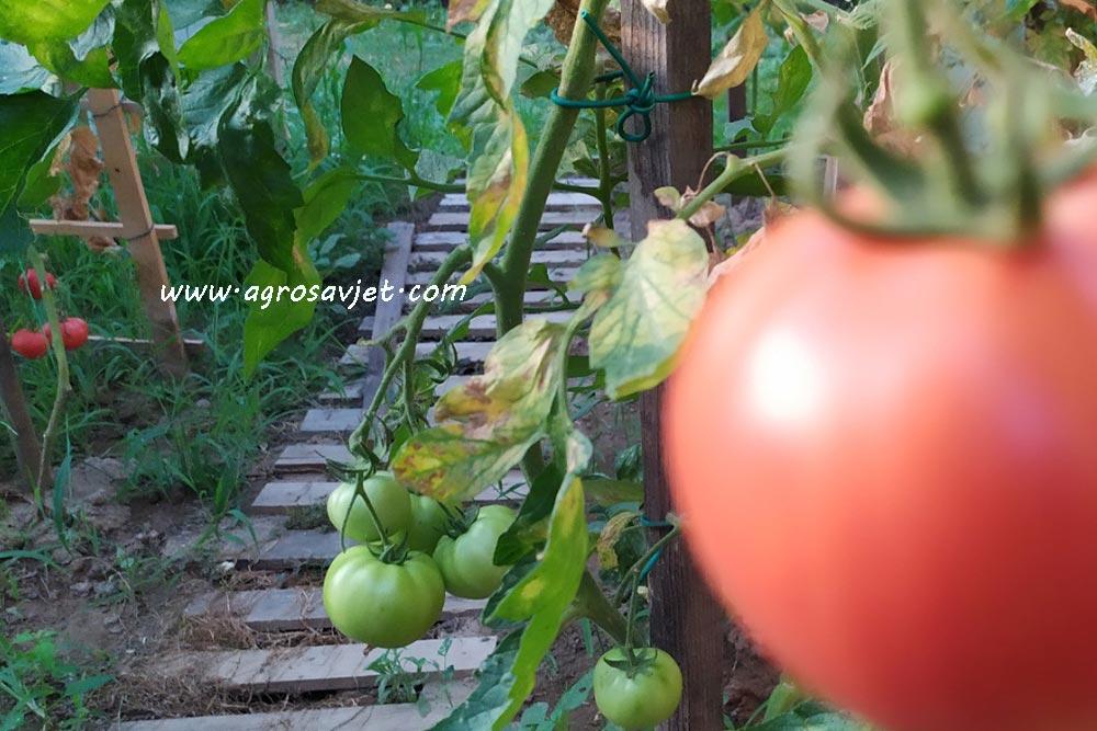 đubrenje paradajza