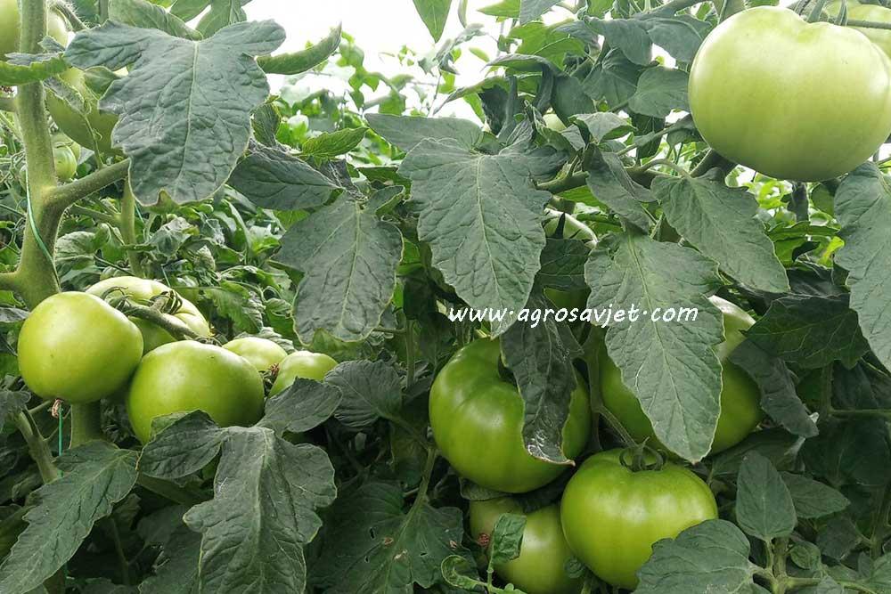 Plodored paradajza