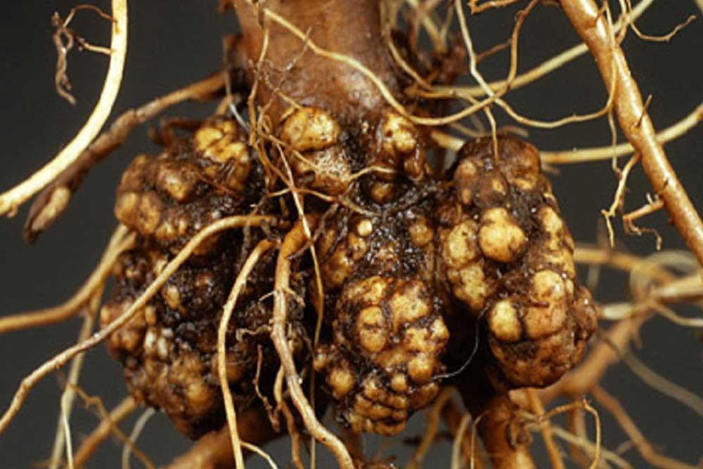 Rak korijena voćaka i vinove loze