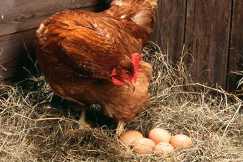 Kljuvanje i jedenje jaja