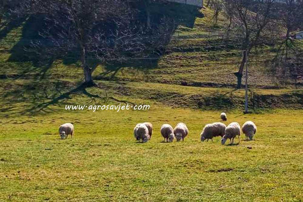 Ispaša ovaca