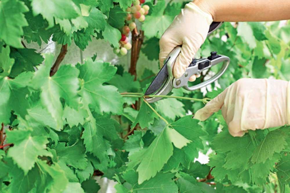 Lačenje i prekraćivanje lastara vinove loze - Važna mjera za svaki vinograd