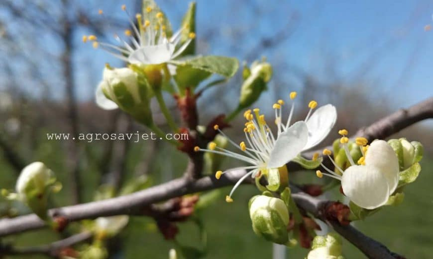 cvijet šljive
