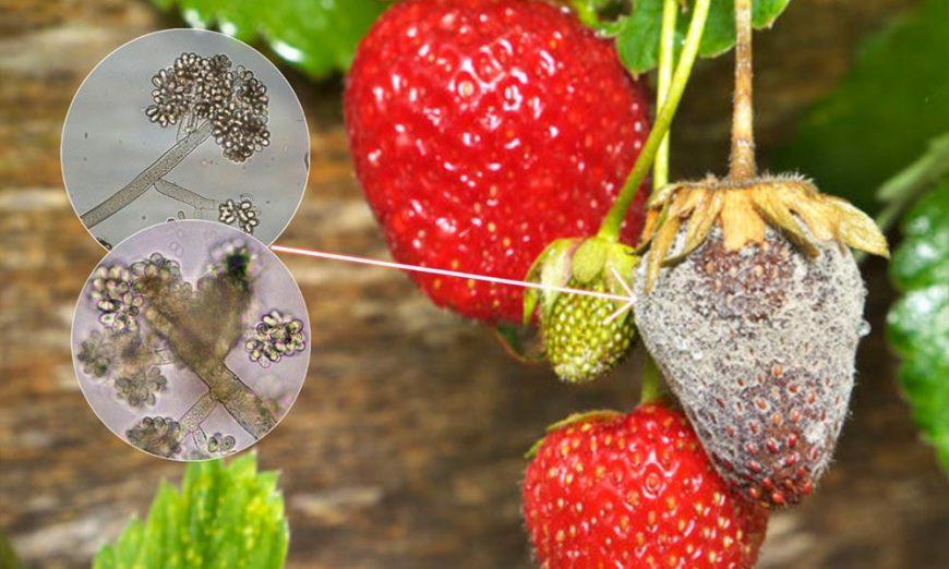 Siva trulež plodova jagode