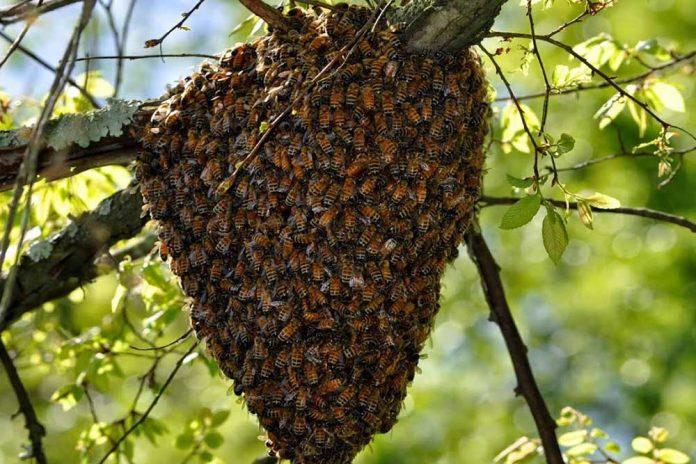 Rojenje pčela