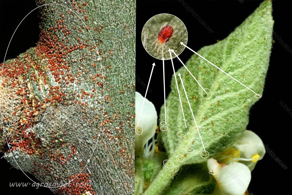 crveni voćni pauk