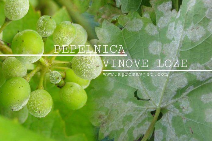 Pepelnica vinove loze