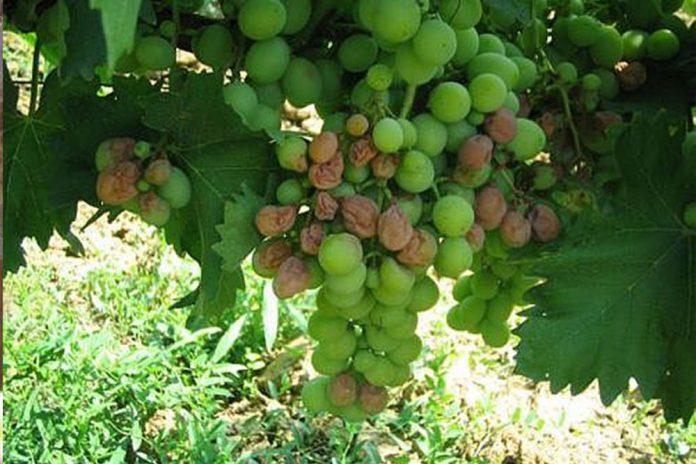 siva trulež grožđa
