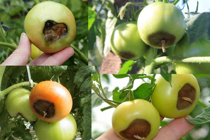 vršna trulež plodova paradajza