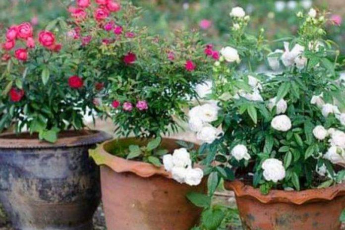 ruže u saksiji