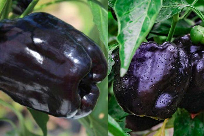 crna babura