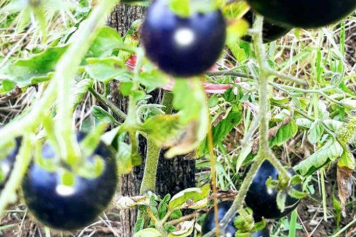 crni paradajz