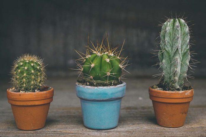presađivanje kaktusa