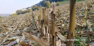 kukuruzovina